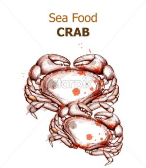 Crab isolated on white Vector. Fresh seafood design line arts. Vintage spots watercolor - starpik