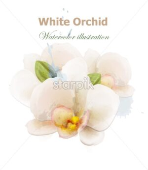 White orchid flowers watercolor isolated Vector. Delicate floral decoration - starpik
