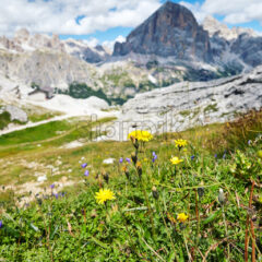 Dandelions growing in Giau Pass at daylight. Cloudy sky on background. Italy