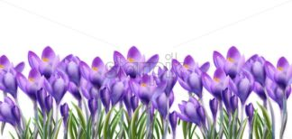 Crocus flowers background Vector watercolor. Botanical floral banner isolated. Spring season template - starpik
