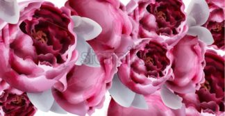 Pink peony flowers background watercolor Vector. Romantic floral invitation or greeting card decoration. Women day, Valentines Day, sales and other event - starpik
