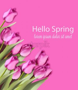 Pink tulips card Vector watercolor. Helo spring background. Season colorful floral bouquet - starpik