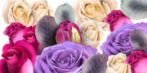 Purple roses bouquet Vector watercolor. Mother day background. Beautiful spring floral design - starpik