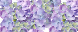Spring hydrangea flowers watercolor background Vector. Romantic floral invitation or greeting card decoration. Women day, Valentines Day, sales and other event - starpik