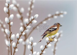 Beautiful sparrow and willow branches Vector. Spring card. - starpik