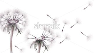 Dandelion card Vector watercolor. Summer floral frame decor - starpik
