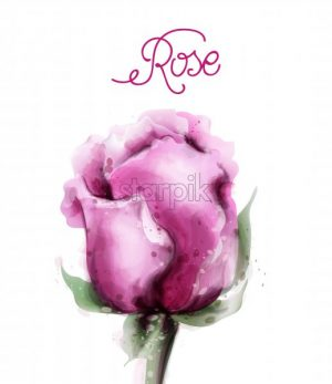 Rose flower pink isolated Vector watercolor. Vintage delicate light floral decor - starpik