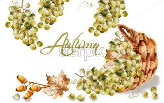 Autumn card Vector watercolor. Fall harvest grapes basket illustration - starpik