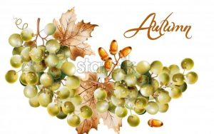 Autumn card Vector watercolor. Fall harvest grapes illustration - starpik