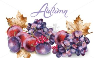 Grapes and plums vector watercolor. Autumn fall harvest background - starpik
