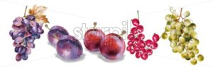 Grapes and plums vector watercolor. Autumn fall harvest set - starpik