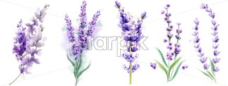 Lavender set Vector watercolor. Beautiful floral bouquets isolated on white illustration - starpik