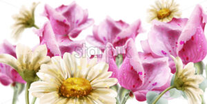 Spring summer card flowers watercolor Vector. Daisy and roses flowers decor background - starpik
