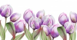 Tulip flowers vector watercolor. Spring summer poster banner - starpik