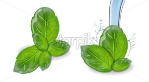 Basil vector realistic leaf set collection. Water splash background - starpik