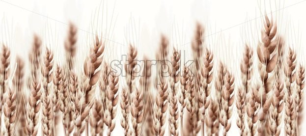 Wheat ears Autumn fall card. Vintage rustic poster. Growing harvest banner - starpik
