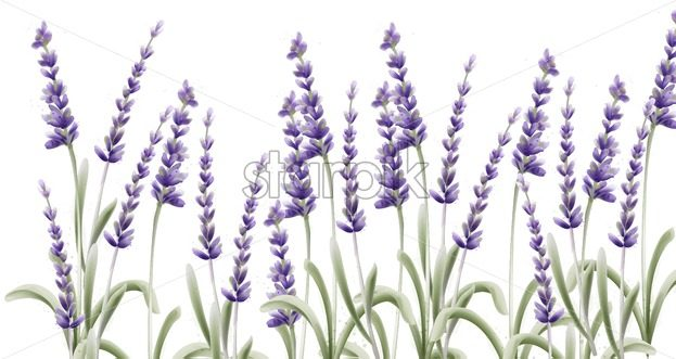 Lavender card vector watercolor. Isolated background. Provence flowers banner - Starpik Stock