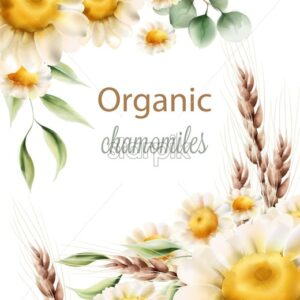 Organic chamomiles flowers with green leaves and wheat spike. Watercolor vector - Starpik Stock