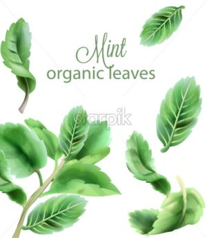 Organic green mint leaves. Watercolor vector - Starpik Stock