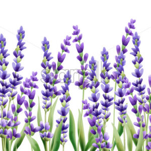Lavender flowers on white background. Isolated background. Vector - Starpik Stock