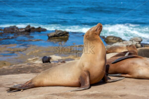 Seal on the shore near the Pacific ocean, San Diego, USA - Starpik Stock