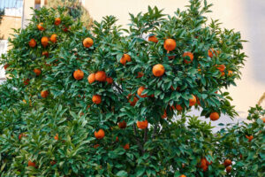 Tangerines growing in Nicosia, Cyprus - Starpik Stock
