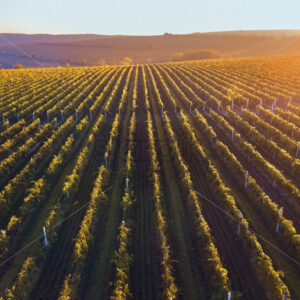 Green and red vineyard rows at sunset in Moldova, glowing orange sun - Starpik Stock