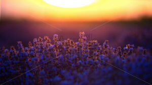 Lavender with purple flowers growing up on a field, huge sun on the background at sunset in Moldova - Starpik Stock