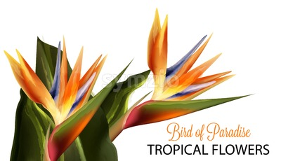 Bird of paradise flower Vector watercolor isolated on white Stock Vector