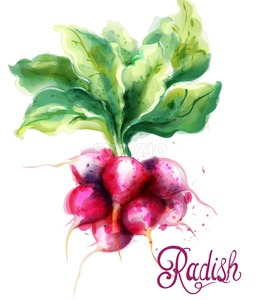 Radish isolated Vector watercolor. Fresh spring veggies illustration Stock Vector