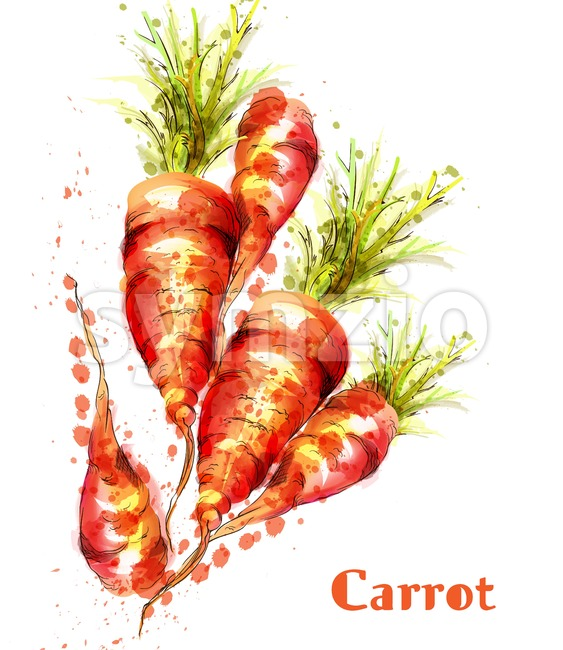 Carrots isolated Vector watercolor. Fresh spring veggies illustration Stock Vector