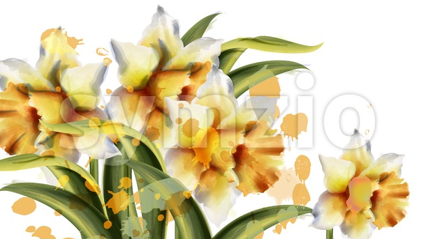 Daffodil flowers Vector watercolor. Spring season bouquet on white background. Vintage romantic decor