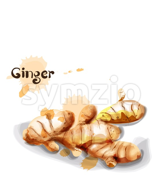 Ginger Vector watercolor. delicious icon vegetable template Stock Vector