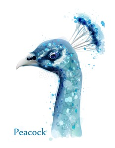 Peacock watercolor Vector card. Blue birds isolated on white background Stock Vector