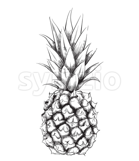 Pineapple vector line art. Vintage design fruit isolated on white Stock Vector