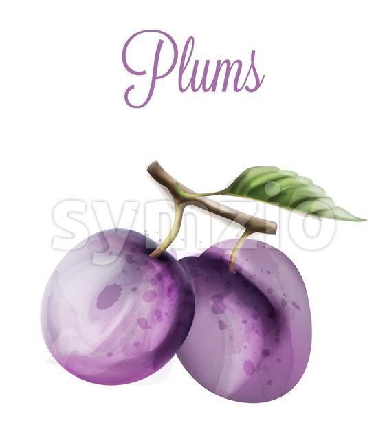 Plums Vector watercolor. Summer fruits icon. label template Stock Vector