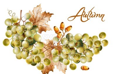 Autumn card Vector watercolor. Fall harvest grapes illustration Stock Vector