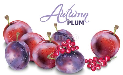 Plums vector watercolor. Autumn fall harvest background Stock Vector