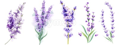 Lavender set Vector watercolor. Beautiful floral bouquets isolated on white illustration Stock Vector