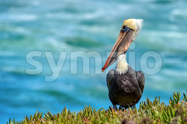 Pelican standing on the grass with Pacific ocean on the background in San Diego, USA