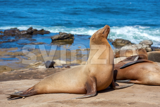Seal on the shore near the Pacific ocean, San Diego, USA Stock Photo