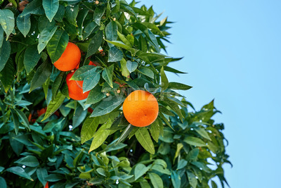 Tangerines growing up in Ayia Napa Stock Photo