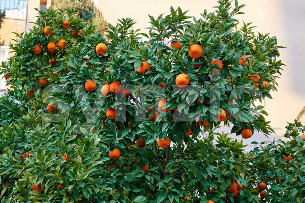 Tangerines growing in Nicosia, Cyprus Stock Photo