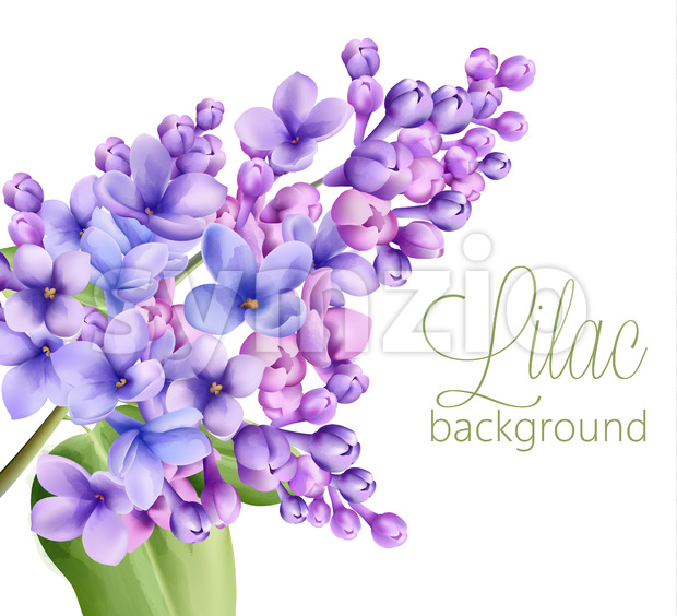 Lilac flowers on white background. Watercolor drawing. Vector Stock Vector
