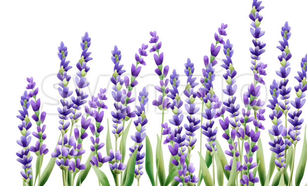 Lavender flowers on white background. Isolated background. Vector Stock Vector