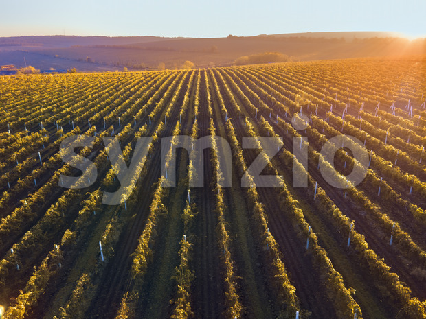 Green and red vineyard rows at sunset in Moldova, glowing orange sun Stock Photo