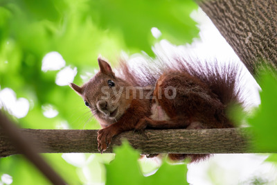 A squirrel on a tree with orange fur looking into the camera, greenery around Stock Photo
