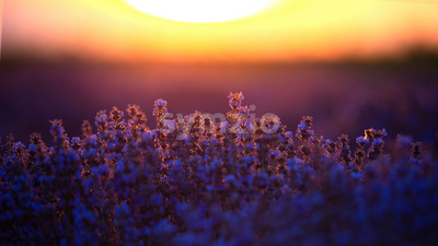 Lavender with purple flowers growing up on a field, huge sun on the background at sunset in Moldova Stock Photo