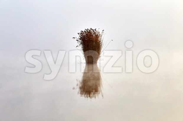 Lonely bush of reed growing on the lake. Empty space. Chisinau, Moldova Stock Photo