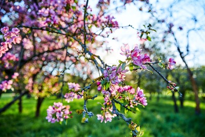 Tree branches in blossom in the spring time. Moldova Stock Photo